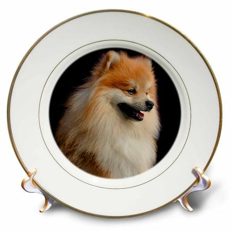 3dRose Pomeranian portrait - Porcelain Plate, -