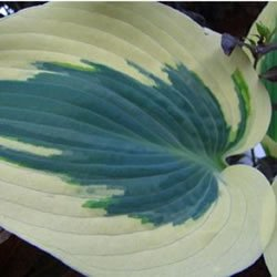 Blue Ivory Hosta - 4