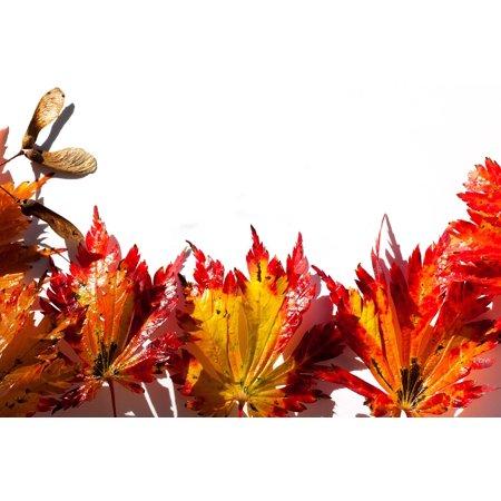 LAMINATED POSTER Maple Leaves Leaves Japanese Maple Hebrst Poster Print 24 x 36