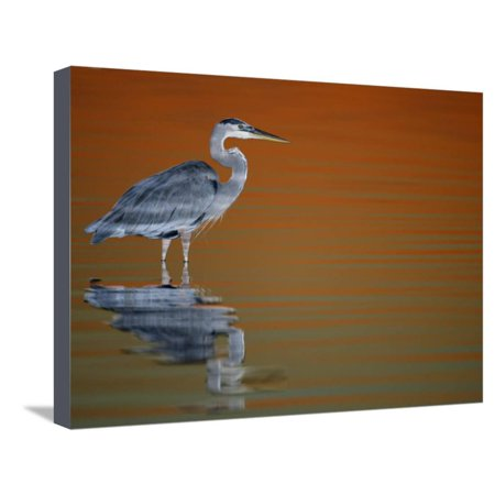 Great Blue Heron in Water at Sunset, Fort De Soto Park, St. Petersburg, Florida, USA Stretched Canvas Print Wall Art By Arthur (Fort De Soto Park St Petersburg Fl)