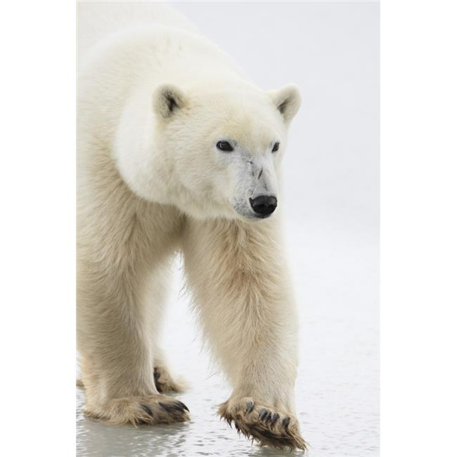 Posterazzi DPI1823562LARGE Polar Bear Poster Print by Richard Wear, 22 x 34 - Large - image 1 de 1