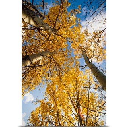 Great Big Canvas Poster Print Entitled Aspen Trees Fall Colors