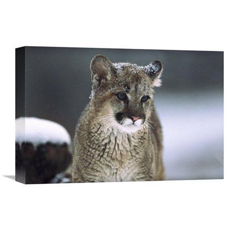 Global Gallery Mountain Lion Cub in Snow Montana Wall (Federal Art Gallery)