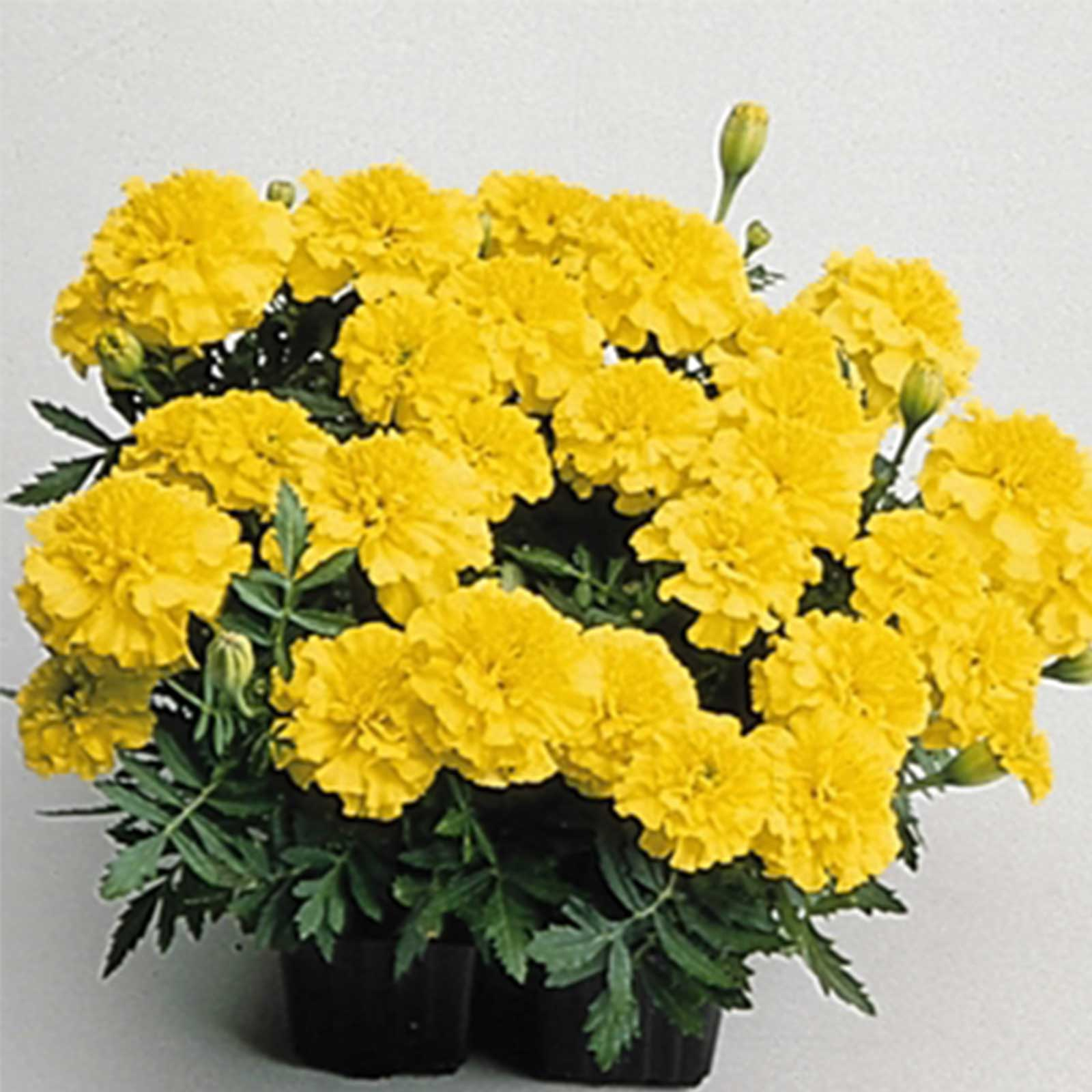 French Marigold Flower Garden Seeds - Janie Series - Bright Yellow - 1000 Seeds - Annual Flower Gardening Seeds - Tagetes patula
