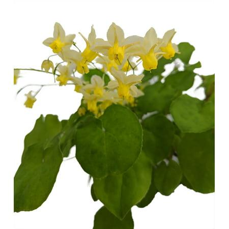 Sulphureum Barrenroot Perennial - Epimedium - Shade - Live Plant - Gallon Pot