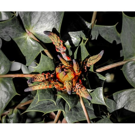 LAMINATED POSTER Plant Flower Oregon Grape Holly Mahonia Buds Floral Poster Print 11 x 17