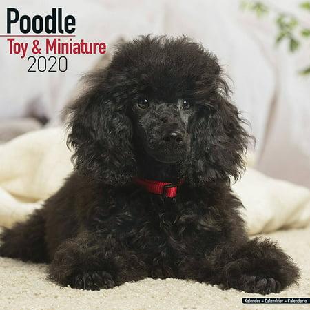 Best Dog Toys 2020 Poodle (Toy & Miniature) Calendar 2020   Poodle (Toy & Miniature