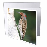 3dRose Northern Flicker male on birch tree, Marion County, Illinois - Greeting Card, 6 by 6-inch