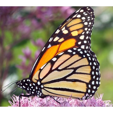 Peel-n-Stick Poster of Insect Butterfly Monarch Wings Bug Orange Poster 24x16 Adhesive Sticker Poster Print (Monarch Butterfly Wings)