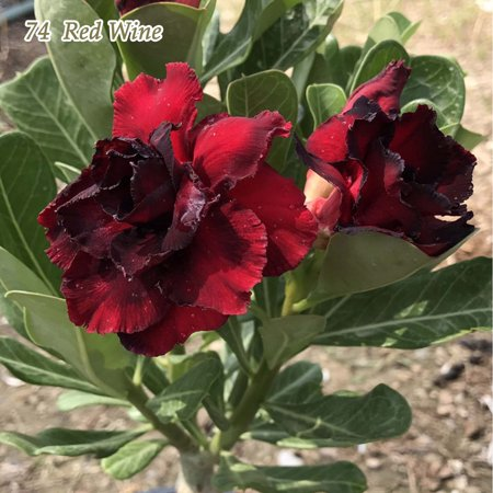 Adenium obesum Desert Rose Well Rooted Plant Perfect Rare Bonsai - Walmart.com