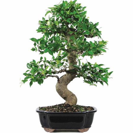 (Brussel's Golden Gate Ficus Bonsai - X Large - (Indoor))