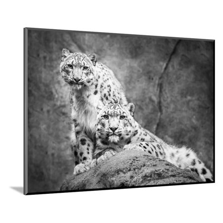 Frontal Portrait (Frontal Portrait of Snow Leopard Pair Wood Mounted Print Wall Art By Abeselom Zerit )