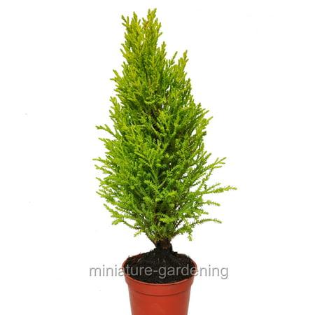 Cupressus macrocarpa, Lemon Cypress Cone,