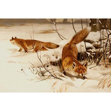 - Arctic Fox- Fine Art Canvas Print (20