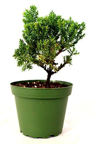Juniper Procumbens Nana ~Bonsai Starter Plant~ by