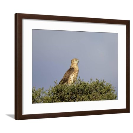 Black-Breasted Snake Eagle (Black-Chested Snake Eagle) (Circaetus Pectoralis) Framed Print Wall Art By James Hager