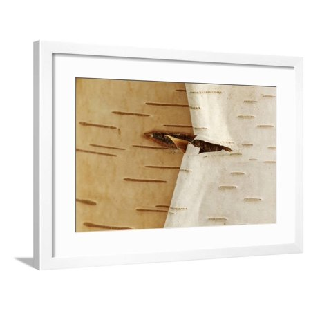 USA, Oregon, Keizer, Peeling Bark on a Paper Birch Framed Print Wall Art By Rick A. Brown - Birch Bark Paper