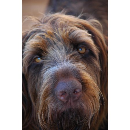 LAMINATED POSTER Close Animals Hunting Dog Long Eared Wirehaired Poster Print 24 x 36