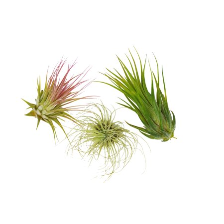 3 Tillandsia Air Plant Pack / FREE Care Guide / House Plants ()