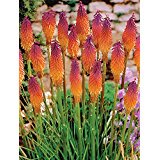 Rainbow Torch Lily Exotic Perennial