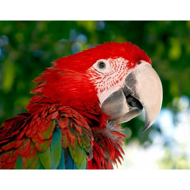 Bird Parrot Red Green Red And Green Macaw Macaw 12 Inch By 18 Inch Laminated Poster With Bright Colors And Vivid Imagery Fits Perfectly In Many Attractive Frames Walmart Com Walmart Com