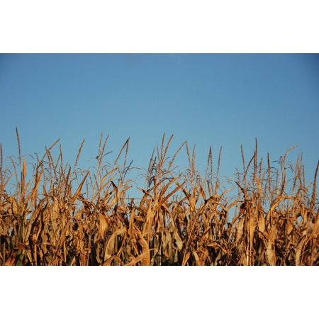 LAMINATED POSTER Air Harvest Brown Field Plant Food Blue Corn Poster Print 11 x 17 (Air Corp Star)