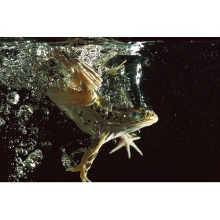Jumping Frog Water - Northern Leopard Frog jumping into water native to North America Poster Print by Heidi and Hans-Juergen Koch