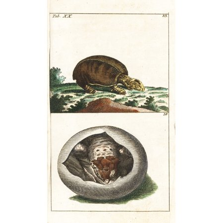 Florida Softshell Turtle Apalone Ferox And Young In Egg Poster Print By ® Florilegius  Mary Evans