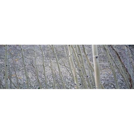 Aspen Trunks And Rockslide Kebler Pass Colorado Canvas Art - Ron Watts  Design Pics (36 x 12)