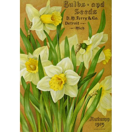 Daffodil Bulb - DM Ferry Bulbs & Seed Catalogue 1913 Daffodils Stretched Canvas - Unknown (24 x 36)