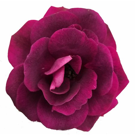 Deep Purple De Rose - Burgundy Iceberg Rose - Deep Purple, Mildly Fragrant - 4