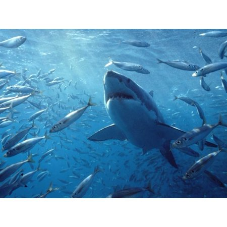 Great White Shark with schooling fish Neptune Islands Australia Digitally enhanced Poster Print by Mike Parry