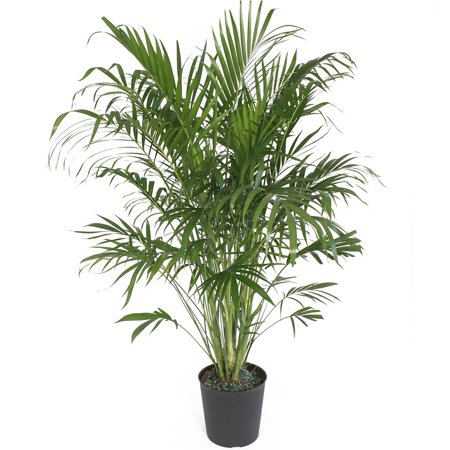 Delray Plants Cat Palm (Chamaedorea cataractarum) Easy to Grow Live House Plant, 10-inch Grower