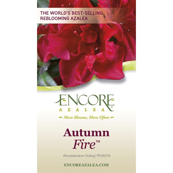 Encore Azalea Autumn Fire Red Blooms Live Evergreen Shrub