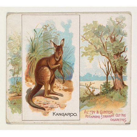 Kangaroo from Quadrupeds series (N41) for Allen & Ginter Cigarettes Poster Print (18 x (Kangaroo Series)