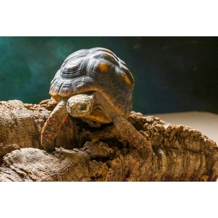 Red-footed tortoise (Chelonoidis carbonaria) on rock Poster Print by Panoramic Images (36 x