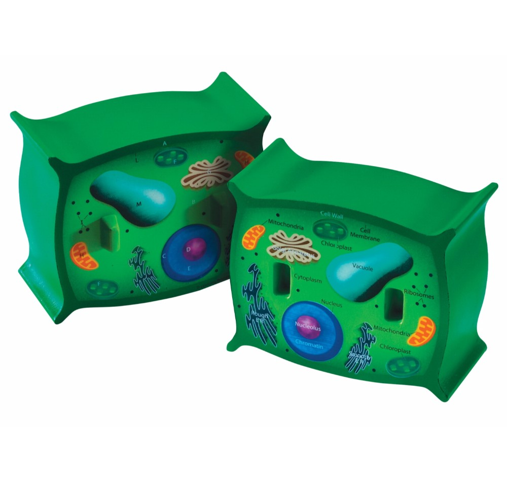 Learning Resources 034-2973 Plant Cell Cross-Section Model