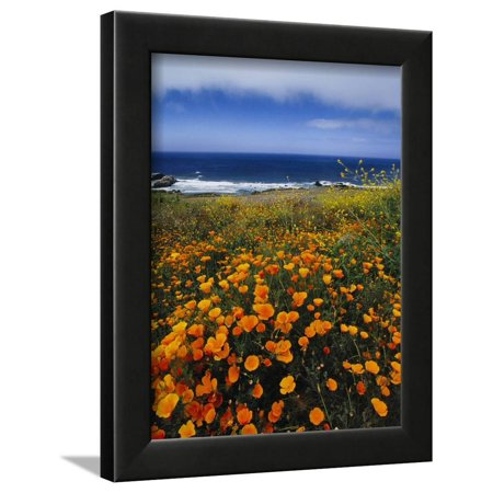 California Poppies, Eschscholzia Californica, Big Sur, California Framed Print Wall Art By Frans Lanting