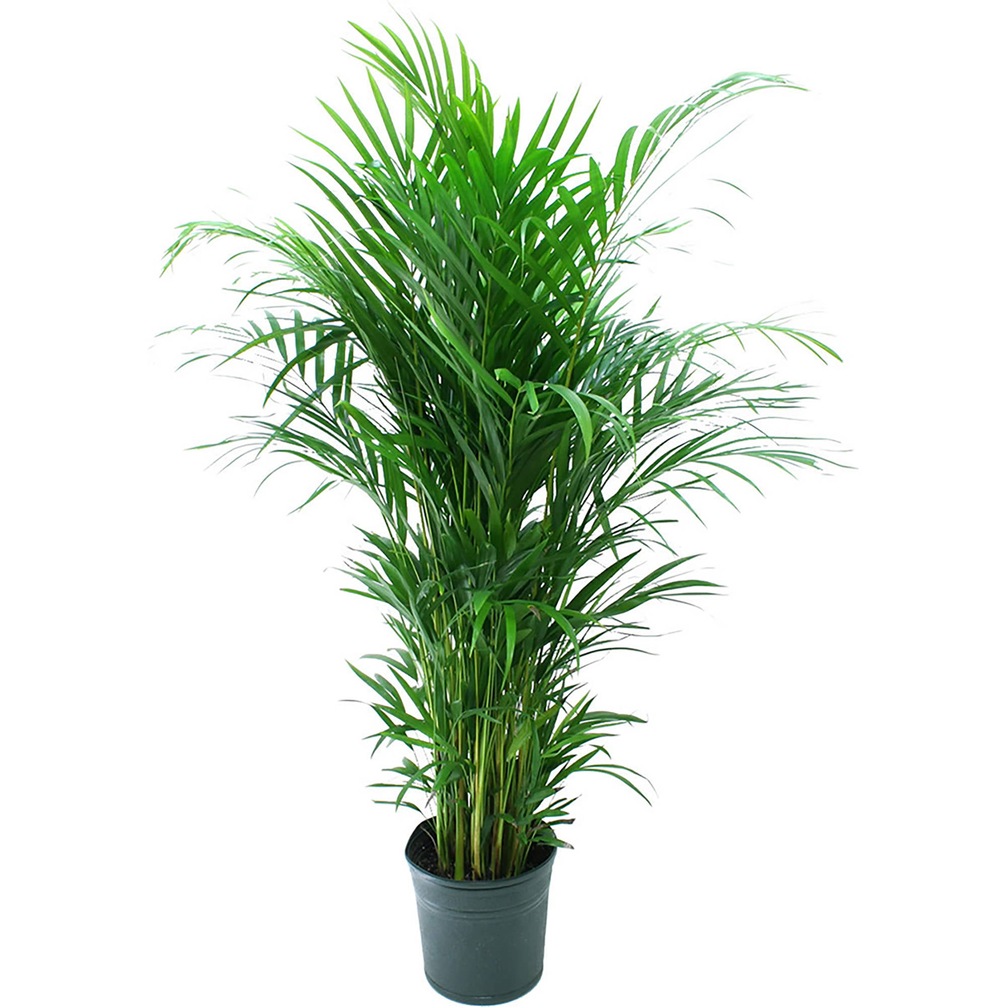 "Living Room Plant Delray Plants Areca Palm In 10"" Pot  Walmart"