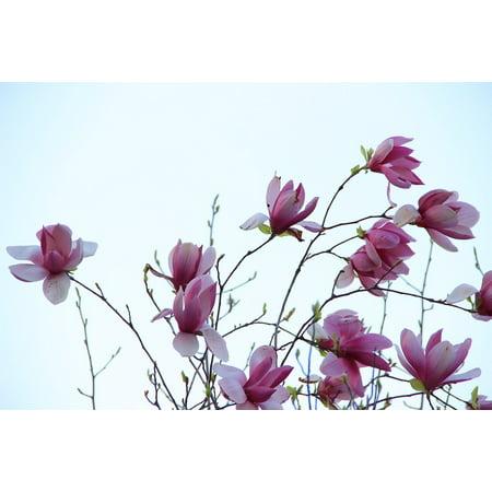 LAMINATED POSTER Purple Flower Spring Pamp Purple Magnolia Poster Print 11 x - Pimp Purple