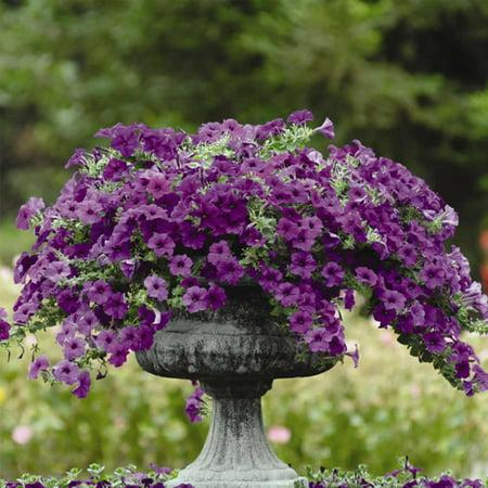 Petunia - Easy Wave Flower Garden Seed - 100 Pelleted Seeds - Blue Blooms - Annual Flowers - Spreading Low Growing Petunias