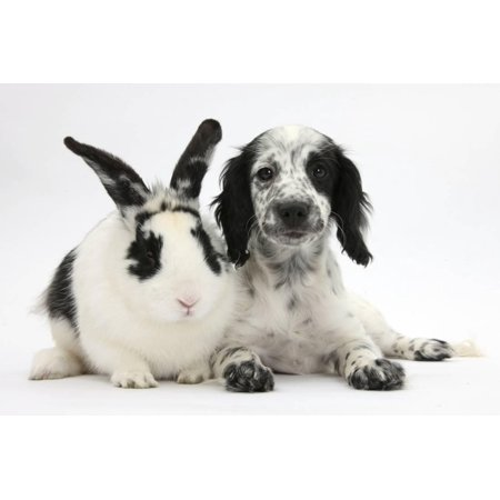 Border Collie Black And White - Black and White Border Collie X Cocker Spaniel Puppy, 11 Weeks, with Matching Rabbit Print Wall Art By Mark Taylor