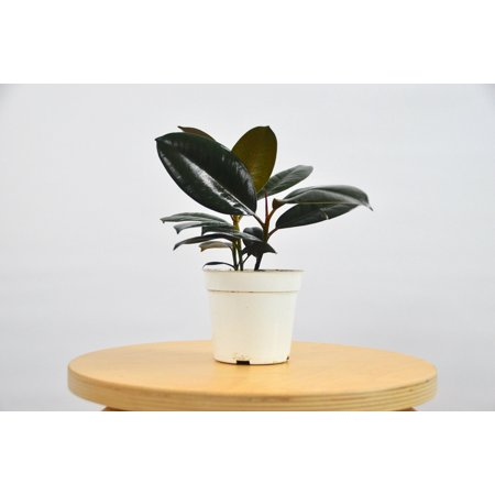 """Ficus Elastica Burgundy Plant - In 4"""" Pot /"""