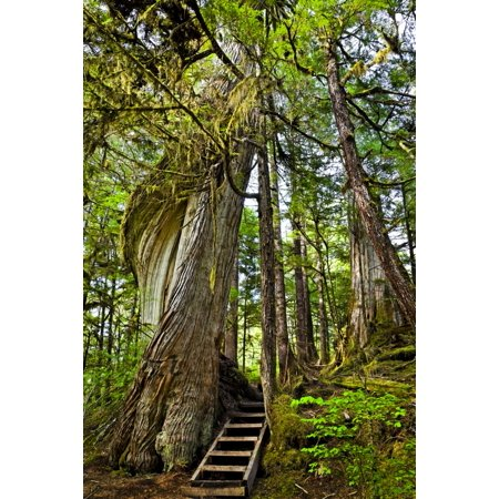Steps Lead Past A Moss Draped Twisting Tree Along Lunch Falls Loop Trail Settlers Cove State Recreational Site Ketchikan Southeast Alaska Summer Canvas Art   Sunny Awazuhara  Reed  Design Pics  12 X 1