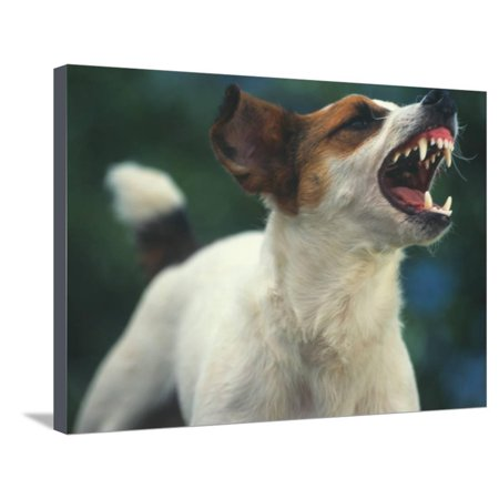 Jack Russell Terrier Barking (Jack Russell Terrier Barking Stretched Canvas Print Wall Art By DLILLC)