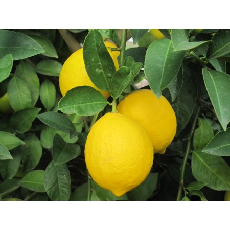 Image of Hawaii Live Plants 3 Gallon Potted Lemon Fruit Tree