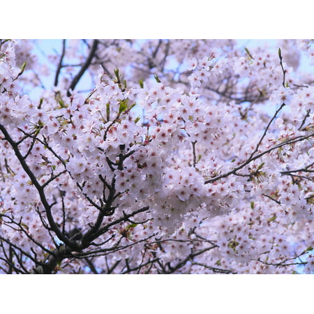 Yoshino Cherry - Canvas Print Cherry Blossoms Pink Yoshino Cherry Tree Cherry Stretched Canvas 10 x 14