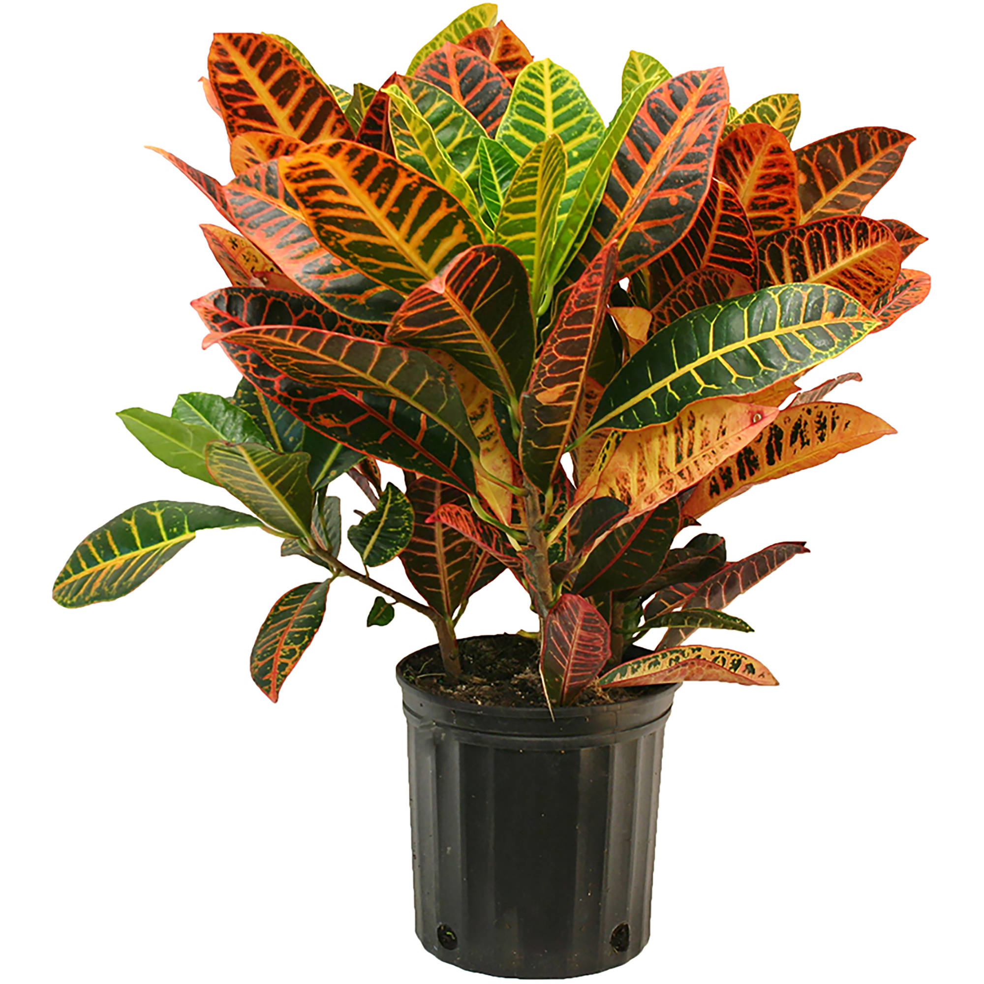Delray Plants Croton (Codiaeum) Petra Easy to Grow Live House Plant, 10-inch Grower Pot