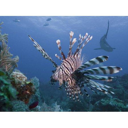Rainbow Reef Shark - Lionfish (Pterois Volitans), and Caribbean Reef Shark (Carcharhinus Perezii), Roatan, Honduras Print Wall Art By Antonio Busiello