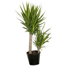 Foliage Yucca Cane In 10in Pot